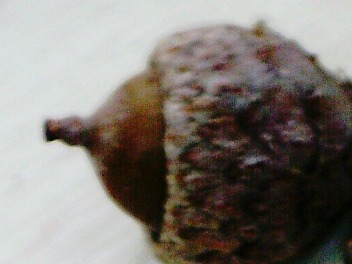 Eichel 1cm