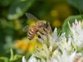 Fleißige Biene